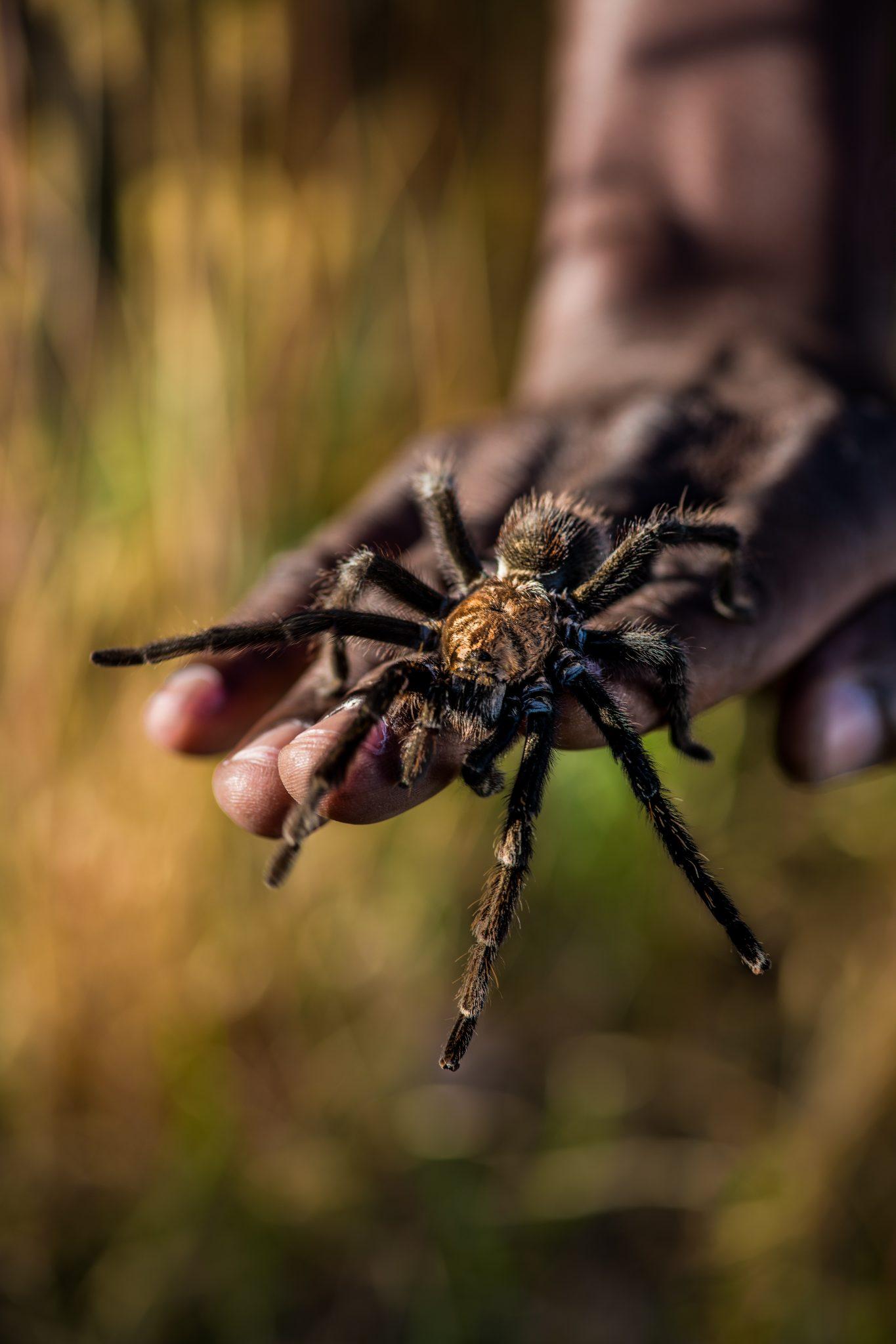 A tarantula crawls down a hand