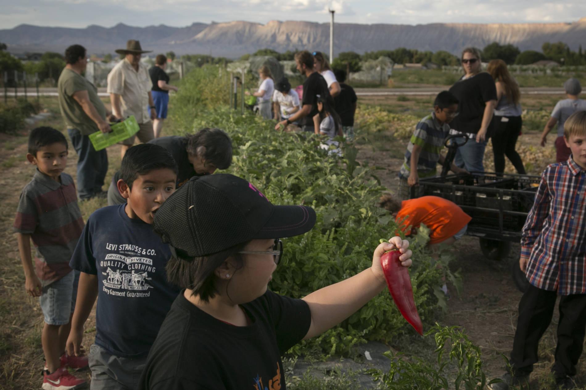 School kids harvest fresh vegetables and fruit