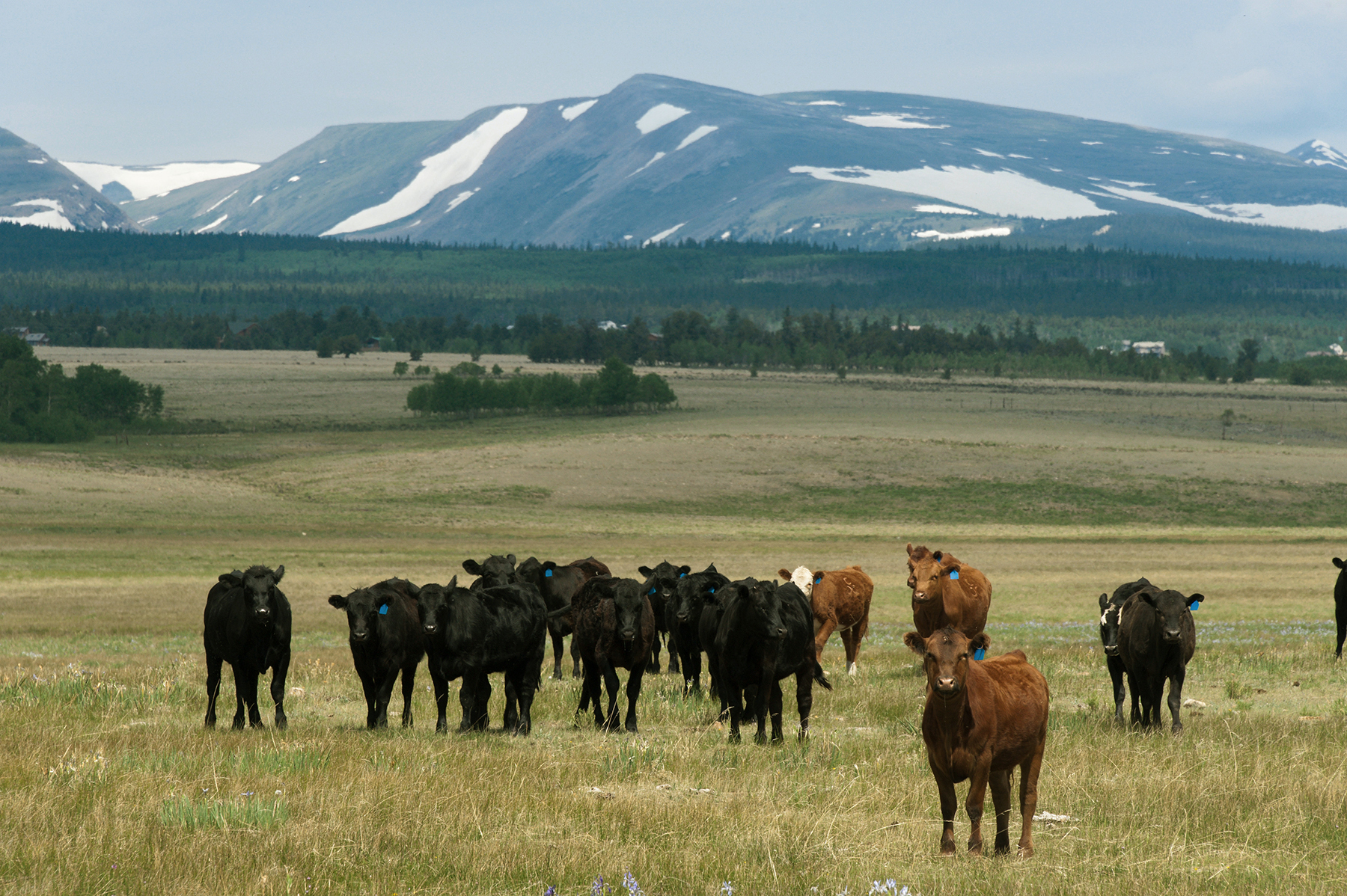 Yearling cattle graze on the CM Ranch in South Park, Colorado